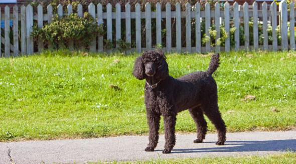 black-standard-poodle-dog